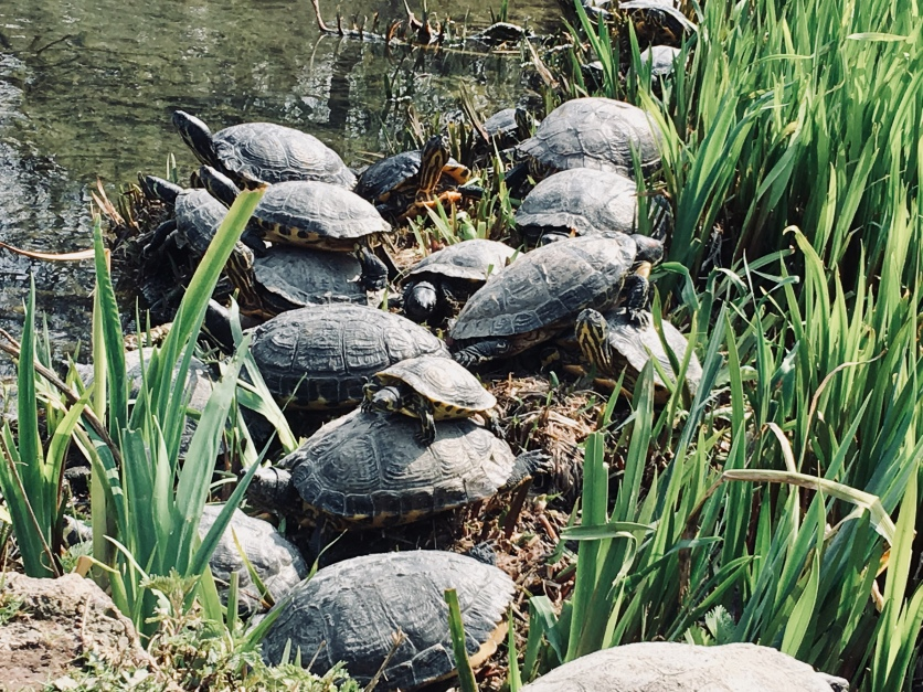 Did you know that the park is populated by turtles? There are few explars living in a small pond right in the middle of the park.